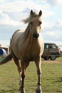 Dakota Welsh B pony